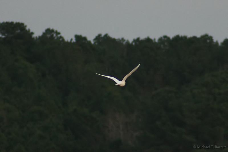 Ivory Gull (27)