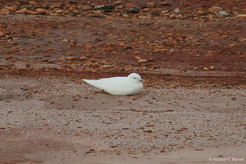 Ivory Gull (25)
