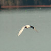 Ivory Gull (8)