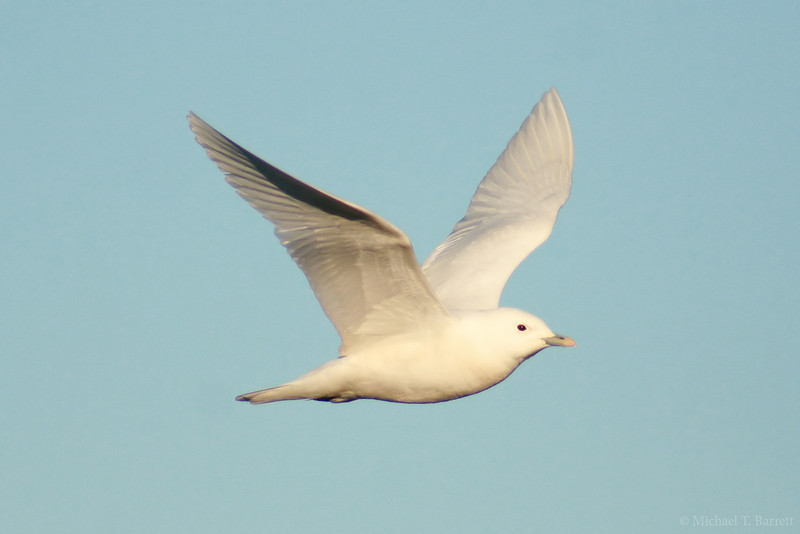 Ivory Gull (12)