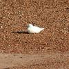 Ivory Gull (16)