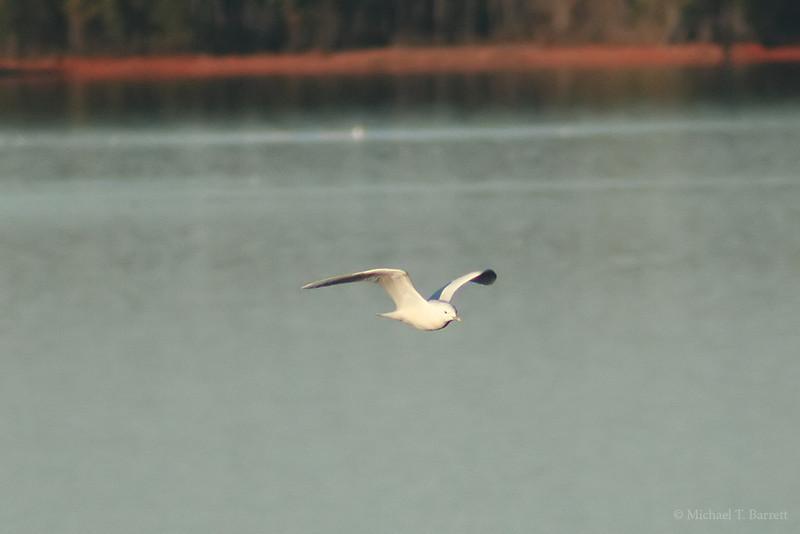 Ivory Gull (6)