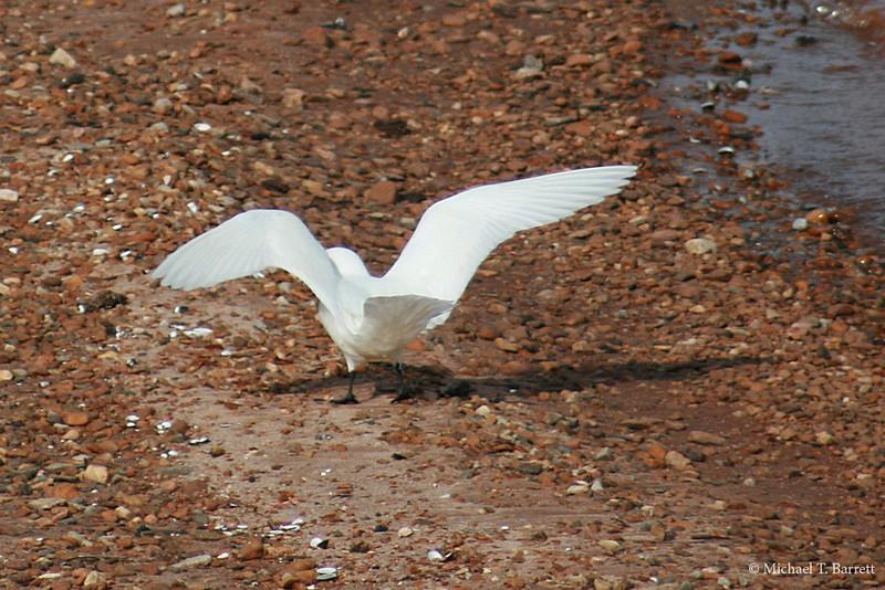 Ivory Gull (23)