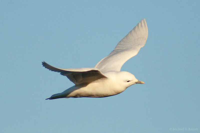 Ivory Gull (13)