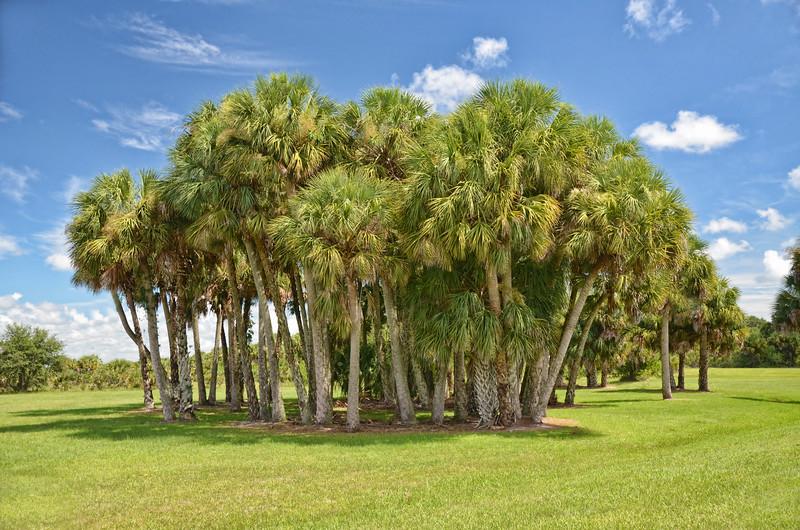 Sabal Palmetto Palm Trees