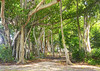 Banyon Trees