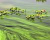 Algae Blooms 3