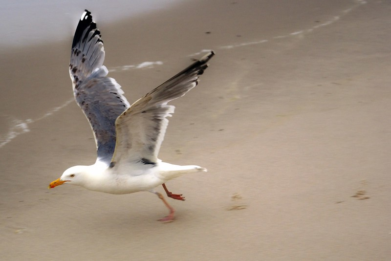 Gull Taking Flight  - LBI, NJ 2008