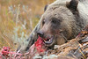 Grizzly Lunch, Grizzly Bear<br /> Grand Teton National Park, WY.<br /> copyright Jack Nordeen 2008<br /> Sizes & Prices 8x10 $75.00, 11x14 $125.00, 16x20 $175.00 Photo only, Custom Framing avalable. Larger Sizes available to 48x72 with most images.