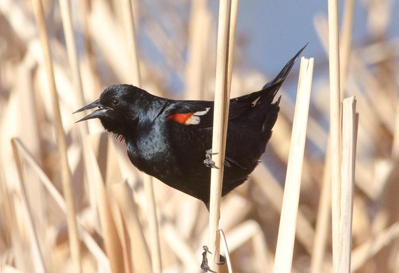 Tricolored Blackbird 2-18-14
