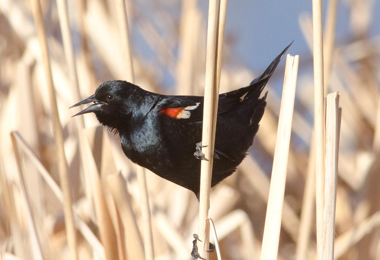Tricolored Blackbird 2-18-14