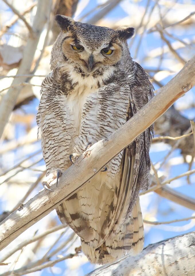 Great Horned Owl 2-18-14