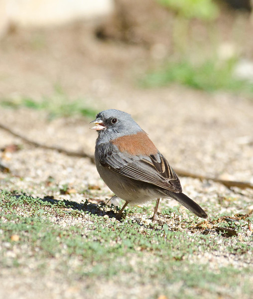 Gray-headed Junco 3-9-14