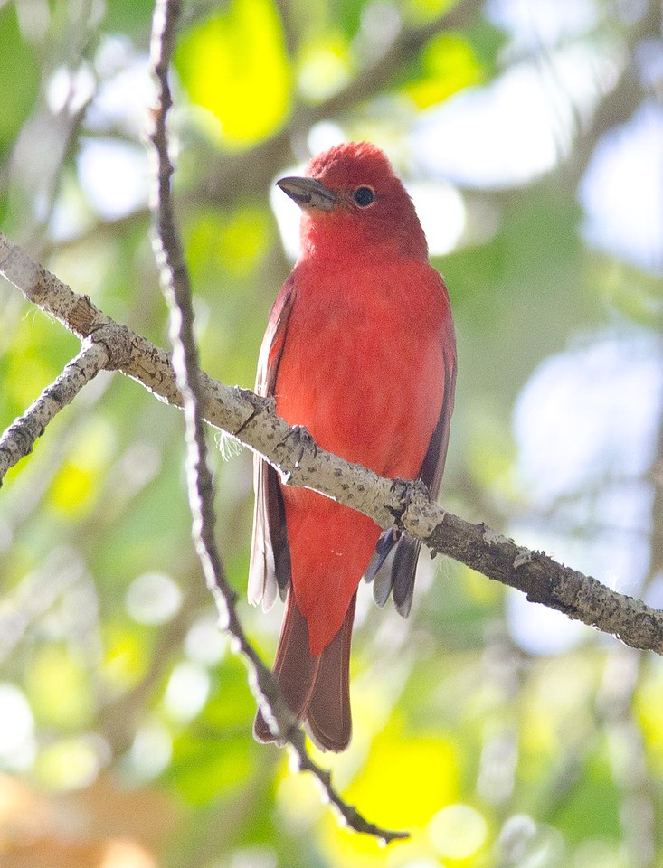 Summer Tanager, Adult Male 10-7-13