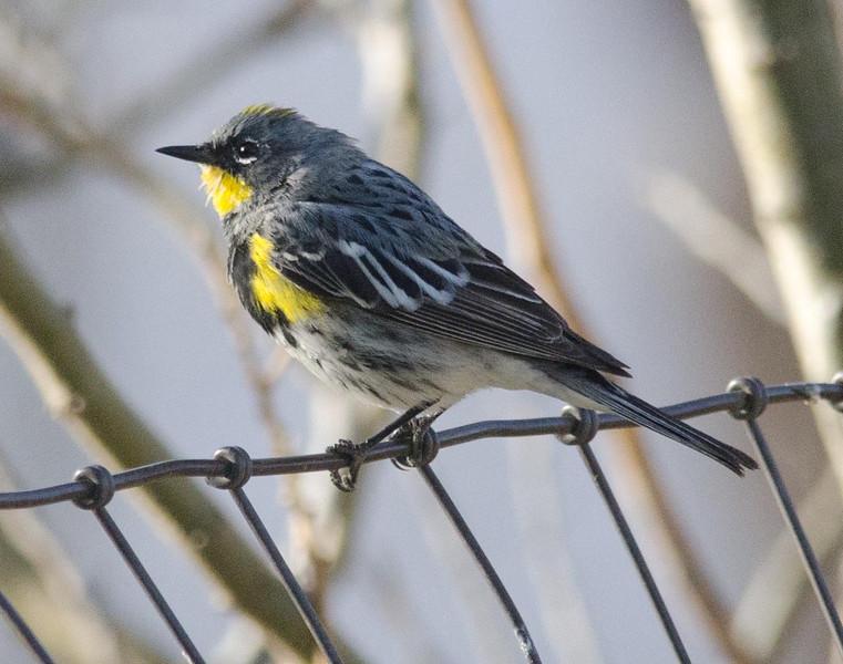 Yellow-rumped warbler  3-15-14
