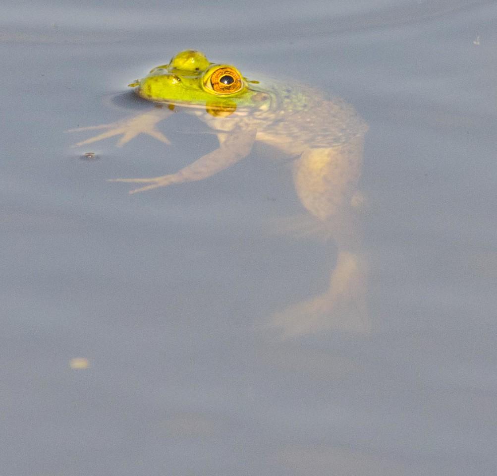 American bullfrog juvenile 7-4-13