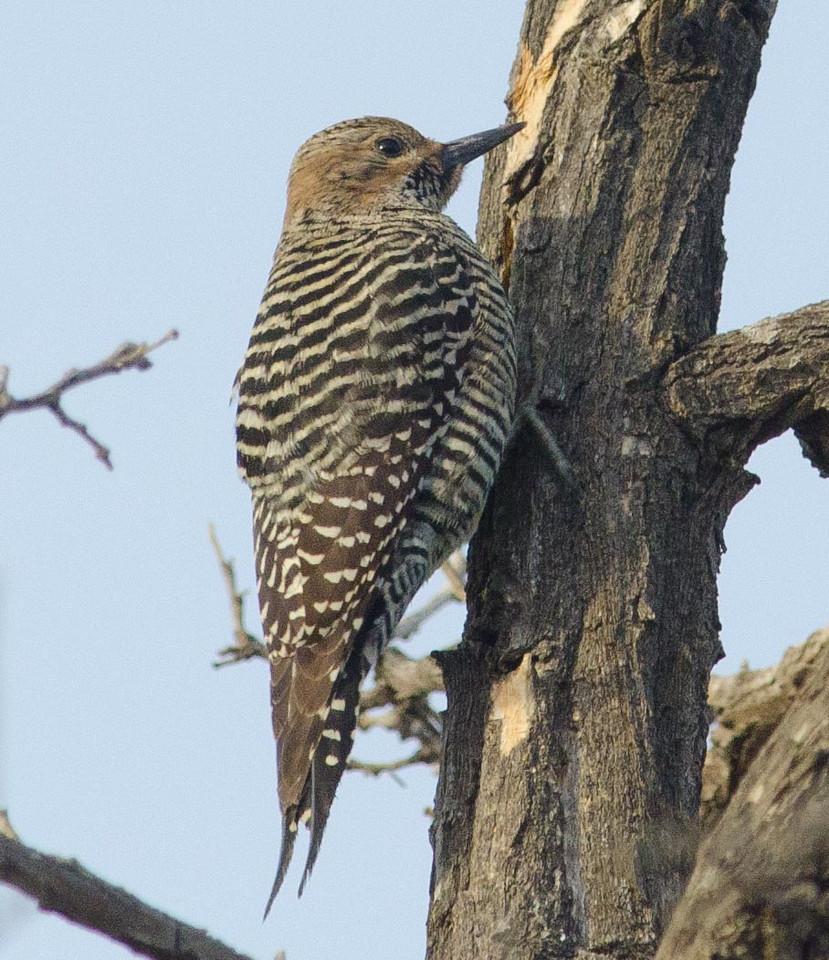 Williamson's Sapsucker (f) 12-17-13 - a new yard bird!