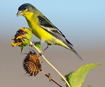 Lesser Goldfinch Jacumba Hot Springs 10-13-12