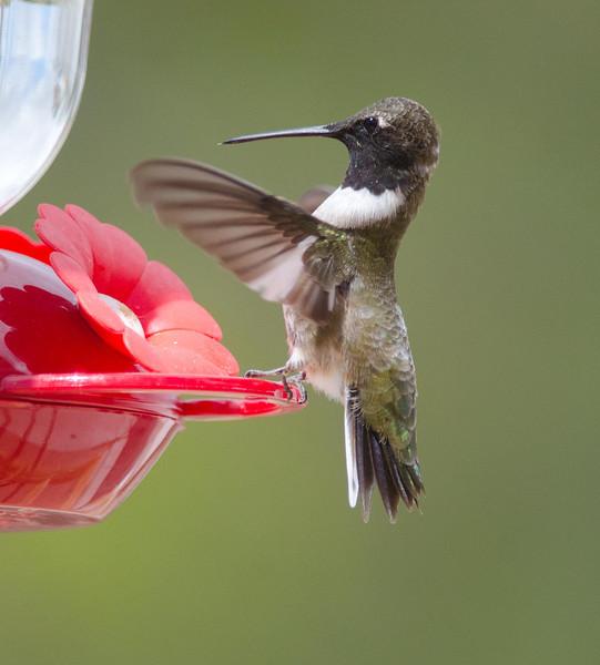 Black-chinned Hummingbird 3-24-14