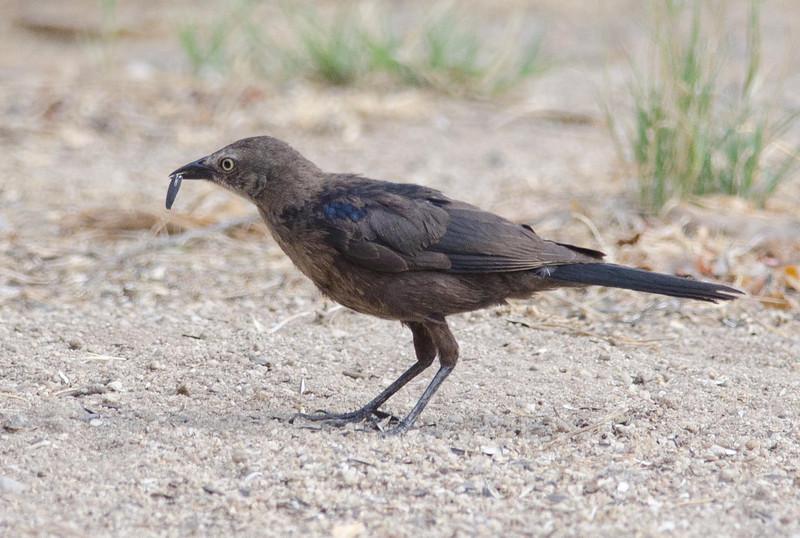 Brewer's Blackbird juvenile Jacumba 7-5-13