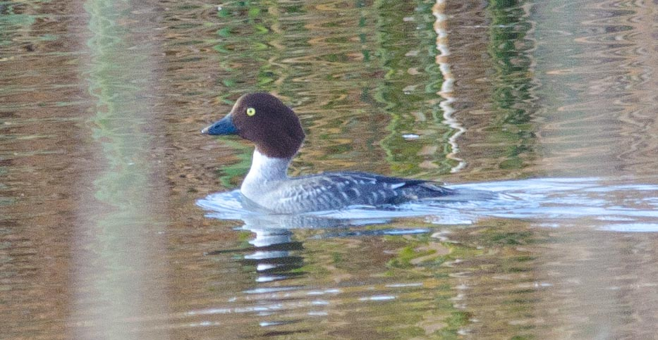 Common Goldeneye (f) 12-20-13