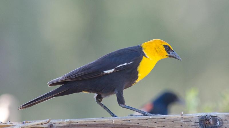 Yellow-headed Blackbird 6-16-13.