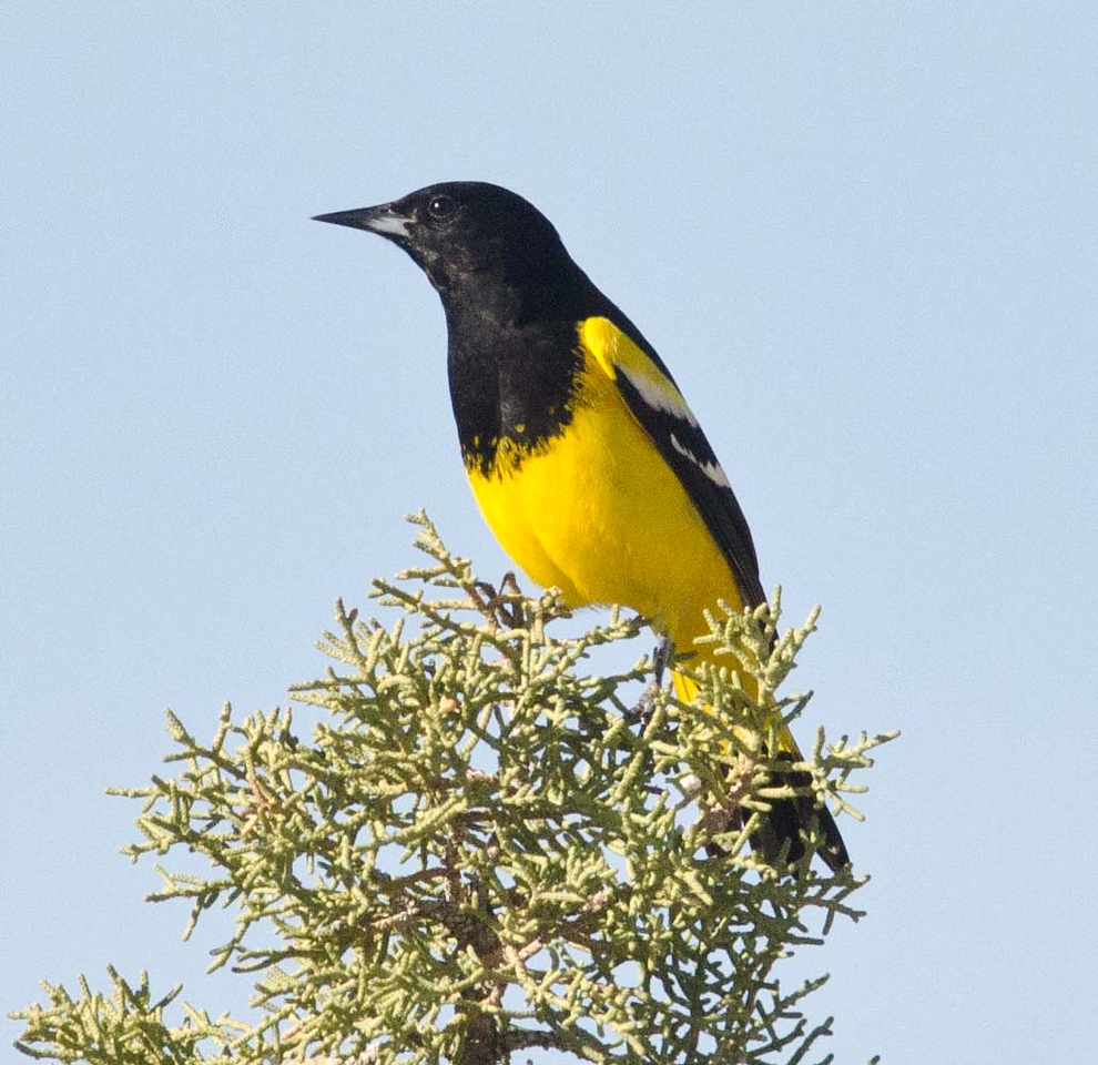 Scott's Oriole.  One of two males seen 1-28-14 just north of the railroad station.