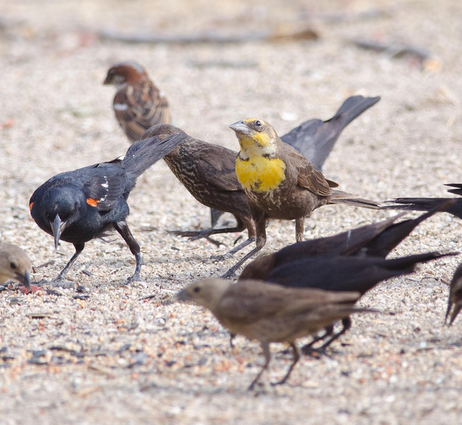 Female yellow-headed blackbird, tricolored blackbird, cowbirds and riffraff. 7-5-13.