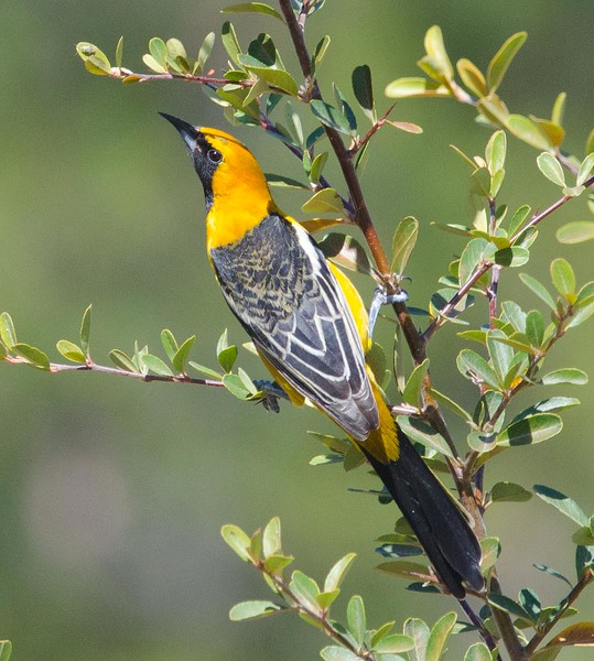Hooded Oriole - first of season - 2-24-14