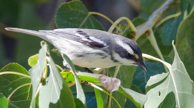 Black-throated Gray Warbler 10-12-13