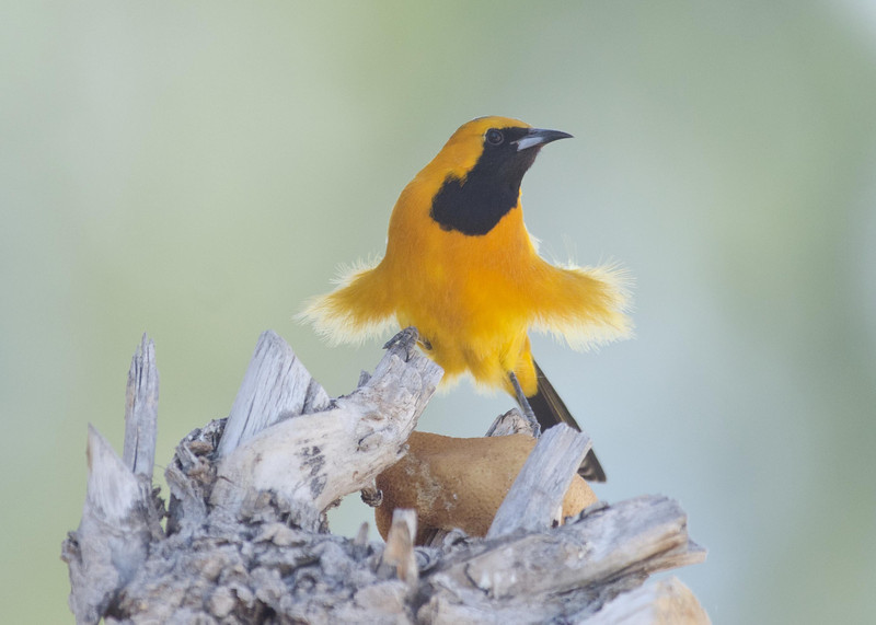 Hooded Oriole 2-24-14