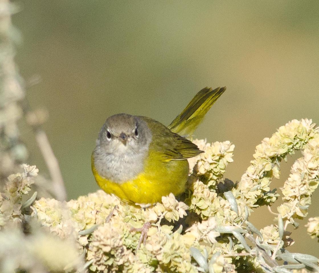 MacGillivray's Warbler 10-17-13