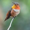 Allen's Hummingbird 2-18-17