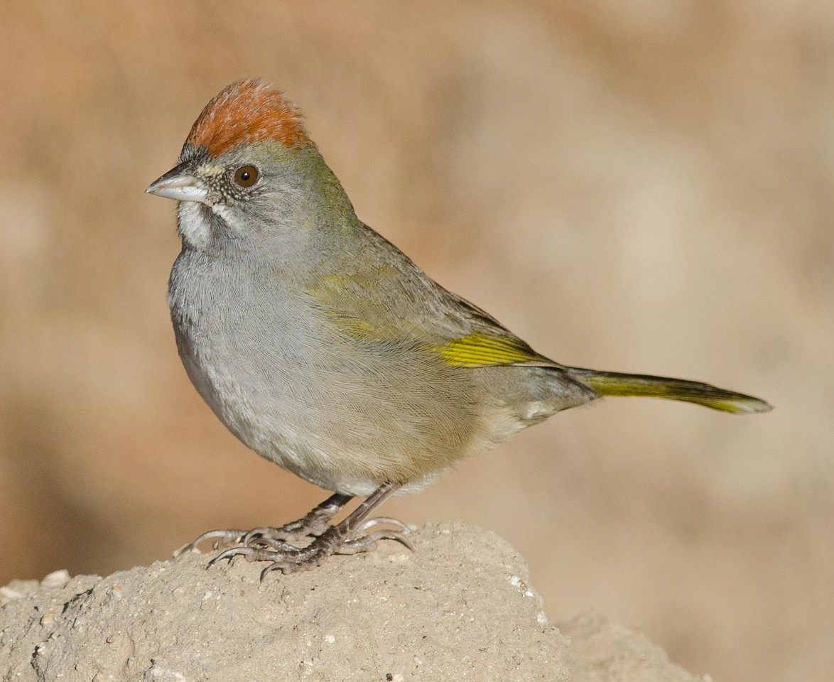 Green-tailed Towhee 10-13-13