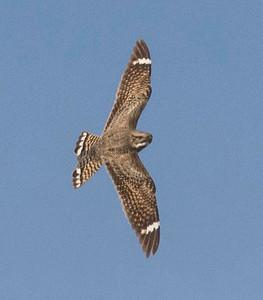 Lesser Nighhawk
