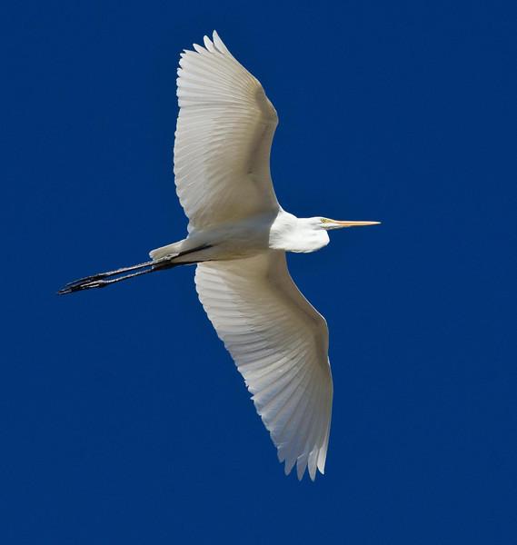 Great Egret 10-21-13