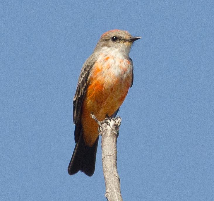 Vermilion Flycatcher 10-12-13