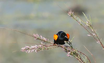 Red-winged Blackbird Jacumba 4-21-2012