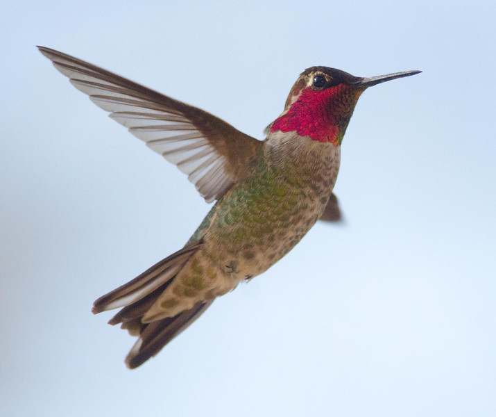 Anna's Hummingbird 3-15-14