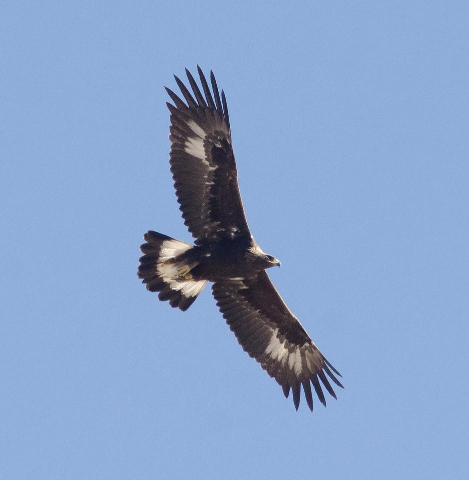 Golden Eagle Juvenile Jacumba 10-21-13