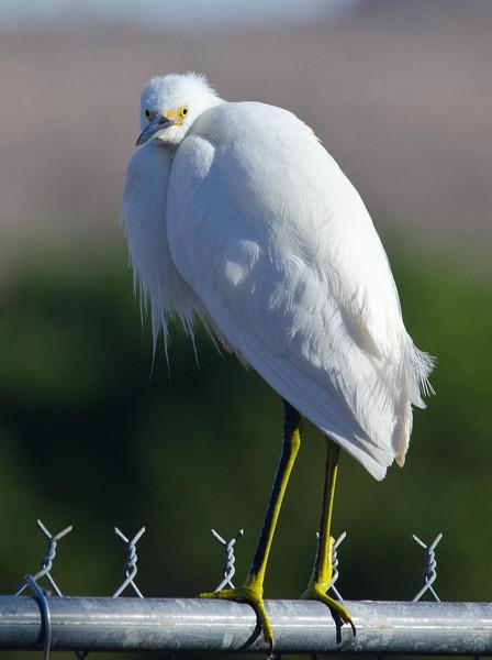 Snowy Egret 2-18-14