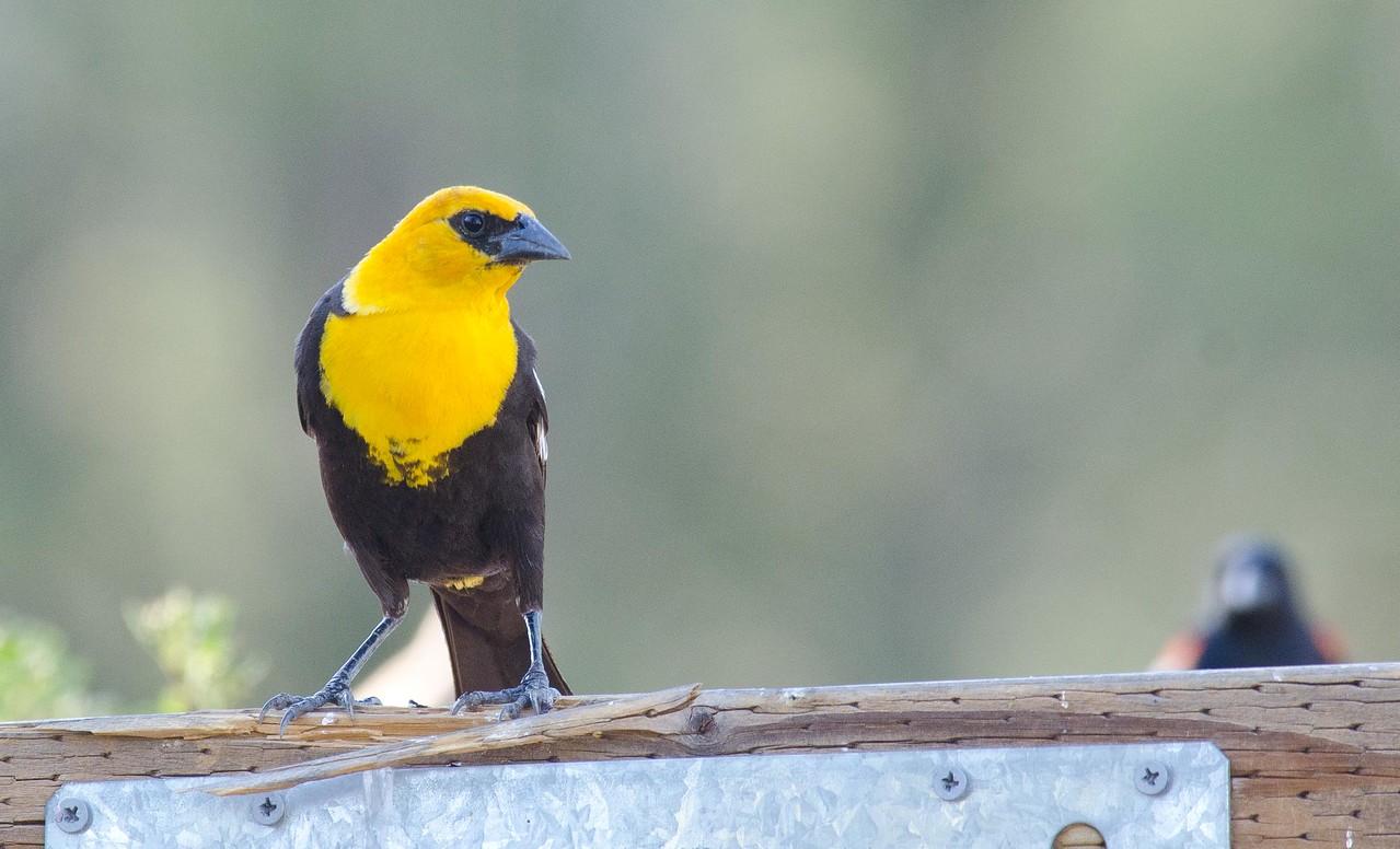 Yellow-headed Blackbird 6-16-13.  Adult male.