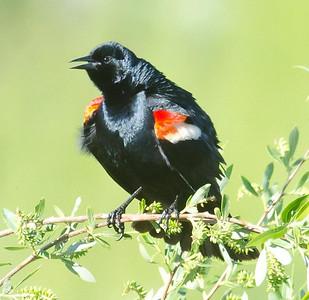 Tricolored Blackbird Jacumba 4-21-2012