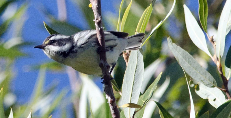 Black-throated Gray Warbler 9-28-13