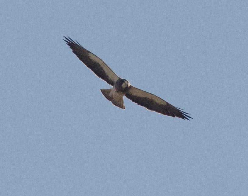 Swainson's Hawk 3-29-14