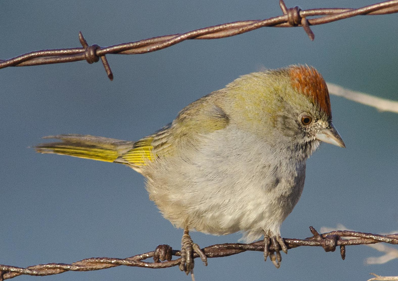Green-tailed towhee 10-30-13
