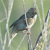 Lincoln's Sparrow 8-22-14 - very early arriving winter bird