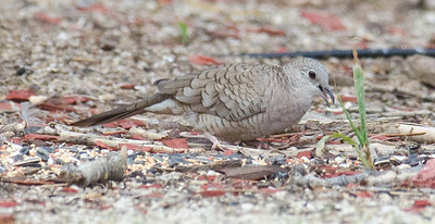 Inca Dove at my feeders 9-2-13.   This bird has not been seen in San Diego County in several years.
