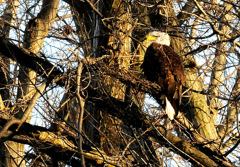 A bald eagle sits high up in an oak tree near its nest at Redwood Elementary School, in Avon Lake, on Jan 1. KRISTIN BAUER | CHRONICLE