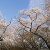 Cherry blossoms in full bloom at Maruyama Park, Kyoto.